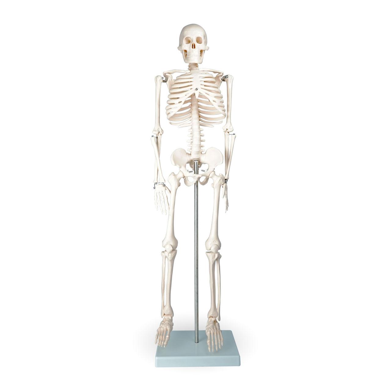 Afbeelding van Skelet menselijk lichaam 85cm