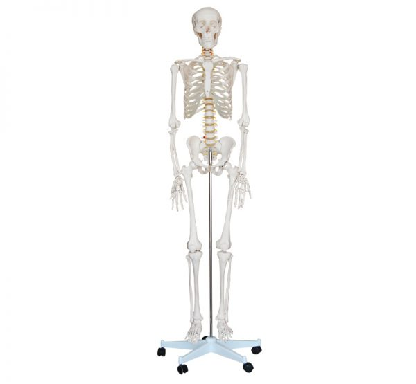 skelet menselijk lichaam 180 cm