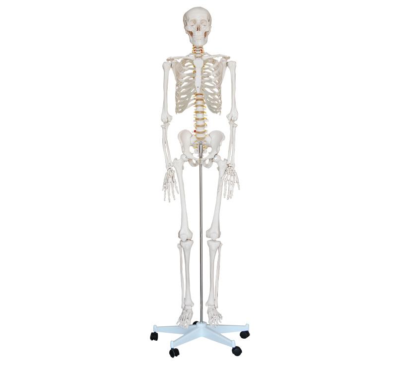 Afbeelding van Skelet menselijk lichaam 180cm